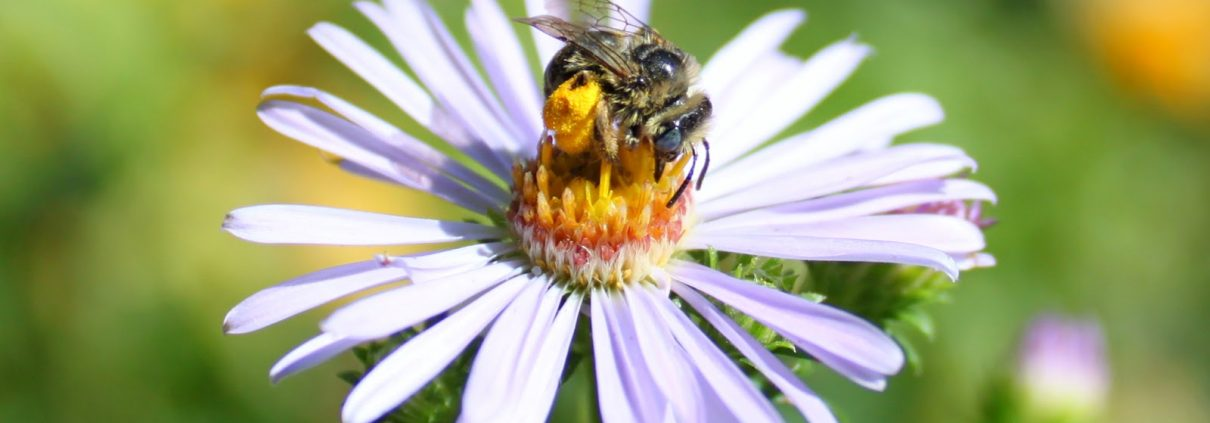 bee on Douglas Aster Flower